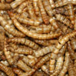 Meelwormen gedroogd - 50 gram (ca. 1250 st.)