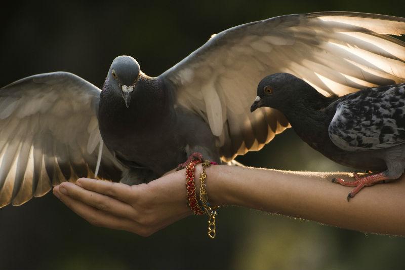 Vogelvoer : duiven