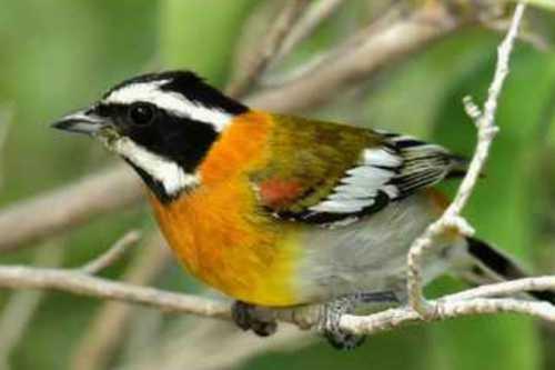 Kanaries, Europese cultuur & tropen vogels