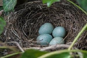 Vogelnest met eieren van een Merel